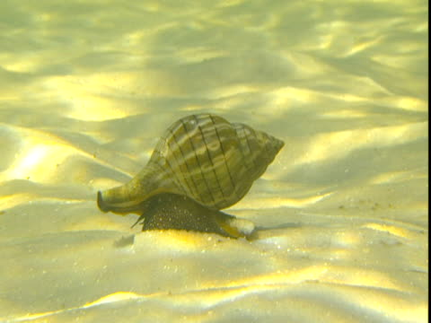 a banded tulip snail inches along a sun dappled seabed. - animal shell stock videos & royalty-free footage