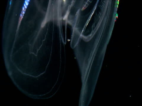 bands of luminous colours move down the sides of a transparent comb jelly. - struttura cellulare video stock e b–roll