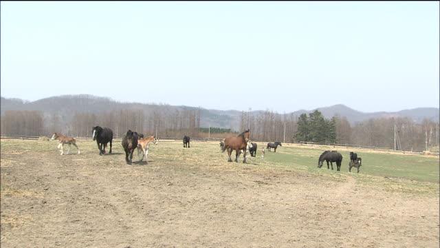 Ban'ei horses and foals graze in a pasture._Hokkaido
