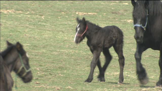 vídeos y material grabado en eventos de stock de ban'ei horses and foals walk through a meadow._hokkaido - cuatro animales