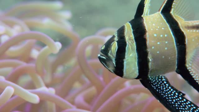 banggai cardinalfish (pterapogon kauderni). - sea anemone stock videos & royalty-free footage