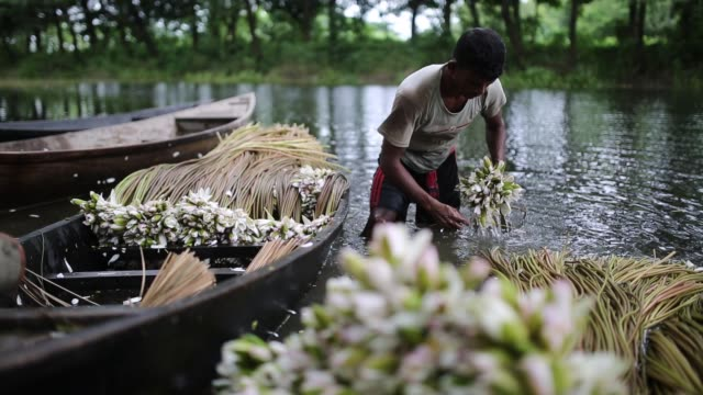 vídeos y material grabado en eventos de stock de bangladeshi people process water lily to sell them in market near in dhaka bangladesh on july 21 2018 almost threequarters of the population live in... - cuestiones ambientales