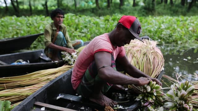 vídeos de stock, filmes e b-roll de bangladeshi people process water lily to sell them in market near in dhaka bangladesh on july 27 2018 almost threequarters of the population live in... - organismo aquático
