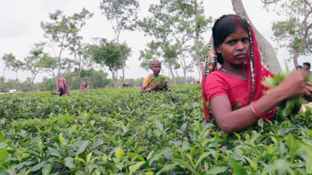 bangladeshi women (tea workers) picking up tea leaves on tea plantation near sreemangal (srimangal), division of sylhet, bangladesh, indian sub-continent, asia - tea crop stock videos & royalty-free footage