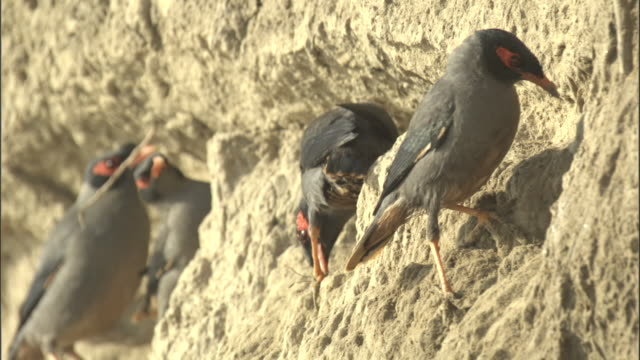 bank mynas perch on a cliff. available in hd. - perching stock videos & royalty-free footage
