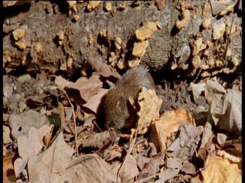 stockvideo's en b-roll-footage met bank vole forages amongst leaves, uk - plant attribute