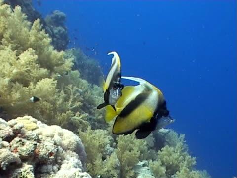 banner  fish close up, by reef - 少於10秒 個影片檔及 b 捲影像
