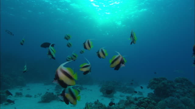 Banner fish Heniochus diphreutes school above reef, Egypt, Red Sea