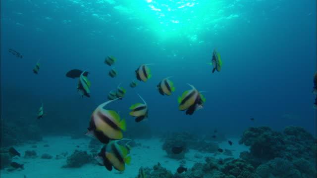 banner fish heniochus diphreutes school above reef, egypt, red sea  - animal markings stock videos & royalty-free footage
