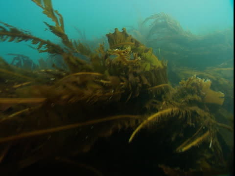 banners of kelp undulate in the ocean's current. - kelp stock-videos und b-roll-filmmaterial