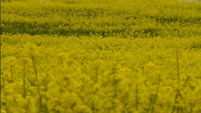 eu bans insecticides harmful to bees r24050515 / various of rapeseed plants in field - crucifers stock videos & royalty-free footage