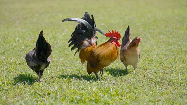 bantam chicken flock grazing on green grass yard. - chicken bird stock videos & royalty-free footage