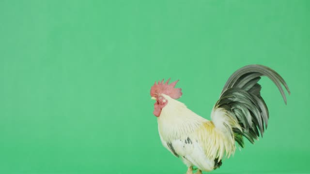 4k cu bantam rooster with green screen - crowing stock videos & royalty-free footage