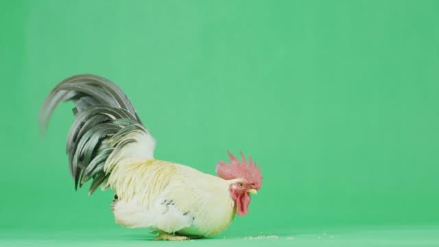 vidéos et rushes de coq bantam cu 4k avec écran vert - one animal