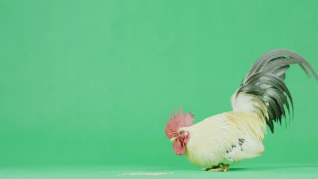vídeos y material grabado en eventos de stock de gallo bantam 4k cu con pantalla verde - gallo