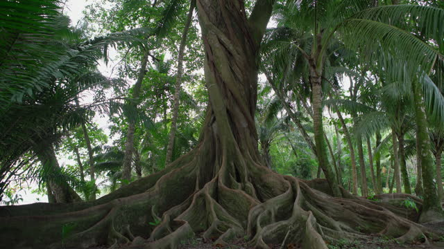 banyan tree in a rainforest in costa rica - tropical tree stock videos & royalty-free footage