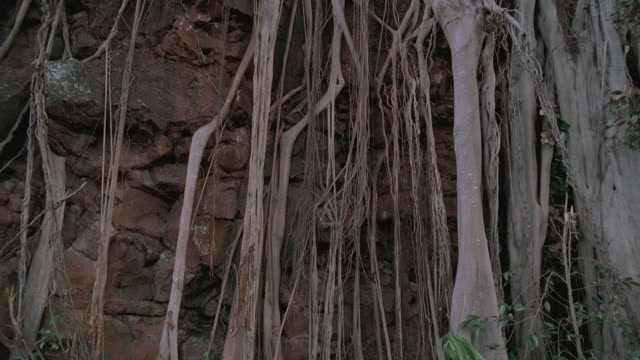 TU Banyan tree roots cascading down rock cliff face with light peaking through the tree's canopy above / Oahu, Hawaii, United States