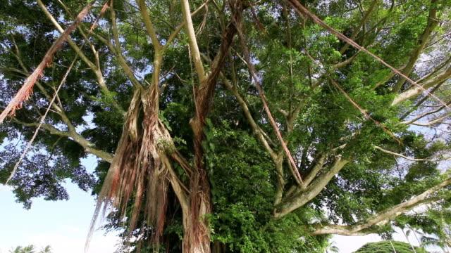 vidéos et rushes de ms banyan tree waving by wind / hilo, big island,hawaii, united states - séquoia géant