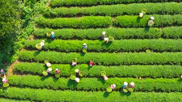 bao loc, lam dong, vietnam - tea farmers harvesting at a bao loc tea farm (đồi chè bảo lộc) - aerial view - farm点の映像素材/bロール