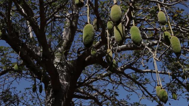 baobab fruits hang on tree - senegal stock-videos und b-roll-filmmaterial