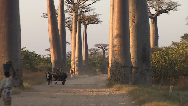 Baobab tree along road in Morondava, Republic of Madagascar