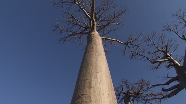 Baobab tree and sky in Madagascar