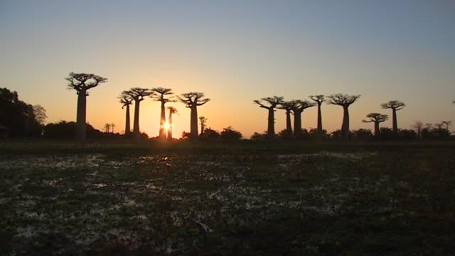 Baobab tree at dusk in Morondava, Republic of Madagascar
