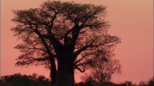 Baobab tree at sunrise, Botswana