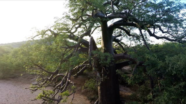 Baobab Tree, Limpopo Province, South Africa