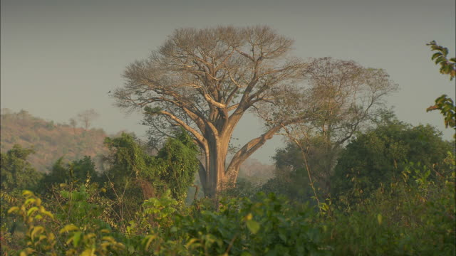 A baobab tree stand higher than the surrounding trees.