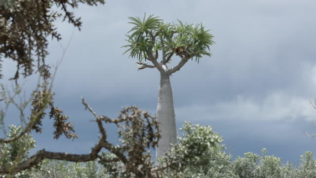 vídeos de stock, filmes e b-roll de baobab tree, tsimanampetsotsa national park, madagascar - grande