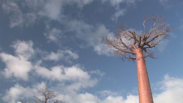 vídeos de stock, filmes e b-roll de ms, la, baobab (adansonia grandidieri) trees against blue sky with white clouds, toliara province, madagascar - árvore tropical