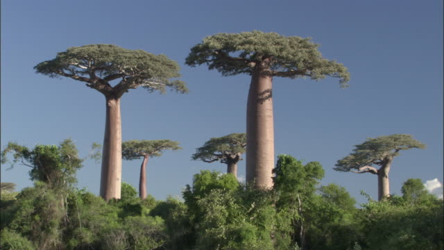 Baobab trees and forest, Madagascar