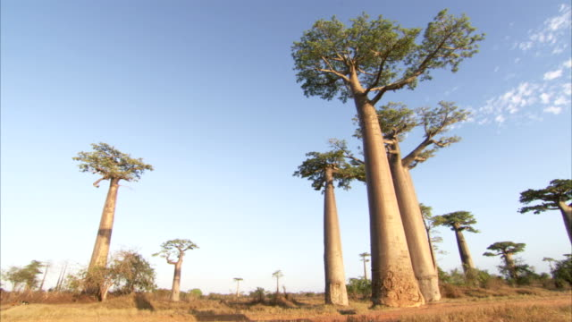 baobab trees overlook a grassy plain. available in hd. - tree trunk stock videos & royalty-free footage