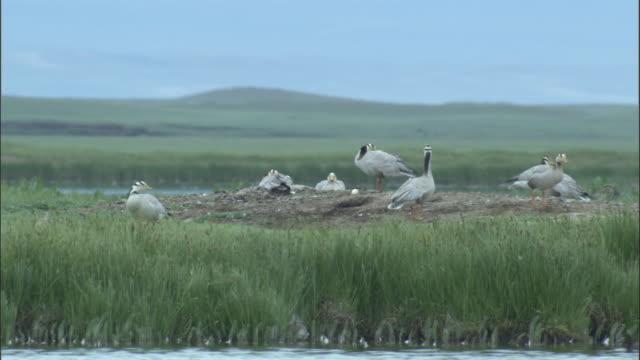 Bar headed geese at nest site, Bayanbulak grasslands