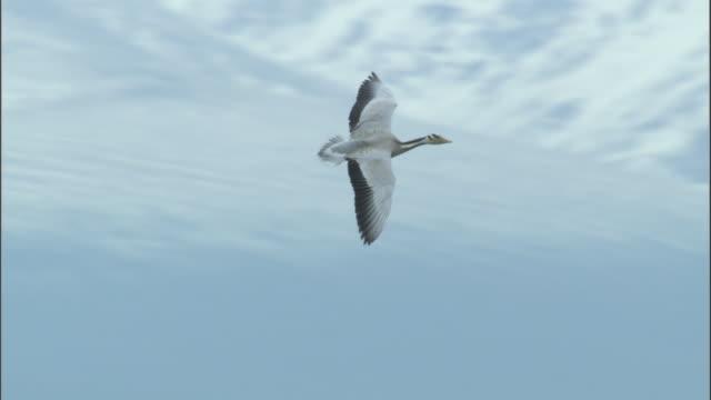 Bar headed geese flies then lands at nest site, Bayanbulak grasslands