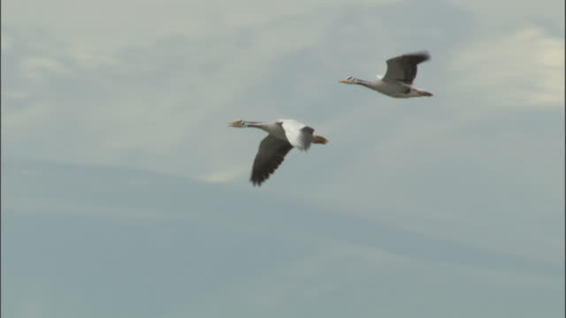 bar headed geese fly, bayanbulak grasslands. - two animals stock videos & royalty-free footage