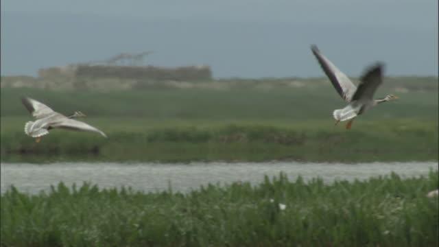 Bar headed geese fly over lake, Bayanbulak grasslands.