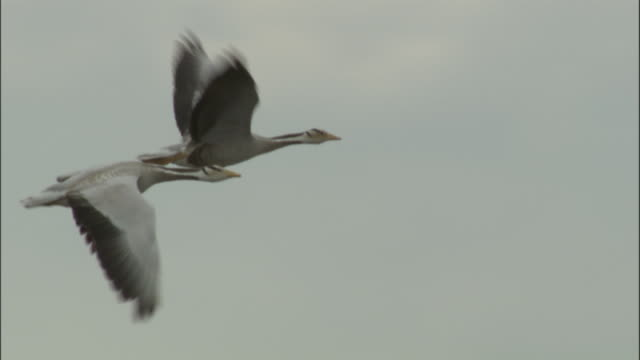 bar headed geese in flight, bayanbulak grasslands. - coordination stock videos & royalty-free footage