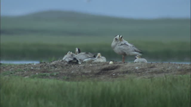 Bar headed geese with eggs at nest, Bayanbulak grasslands.