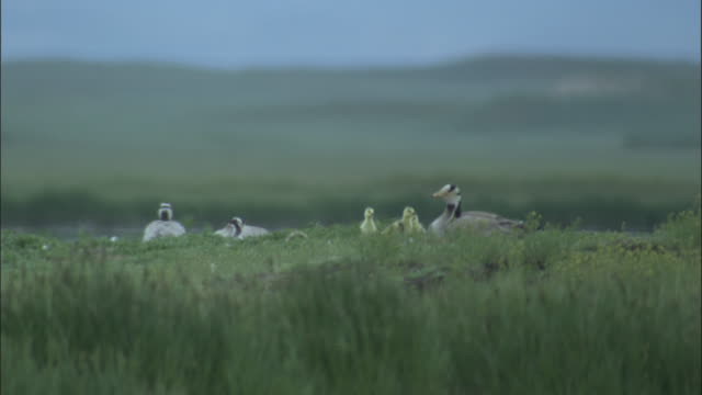 Bar headed geese with goslings at nest, Bayanbulak grasslands.