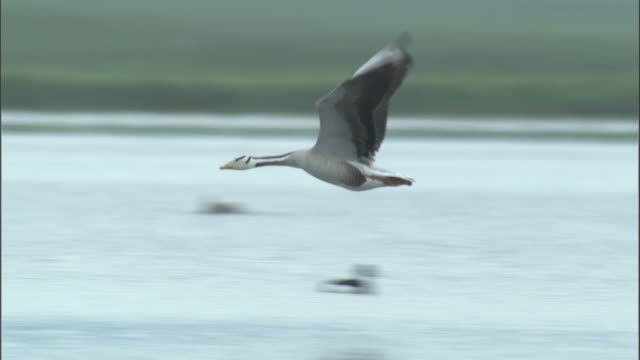 Bar headed goose fly low over water, Bayanbulak grasslands