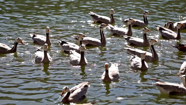 stockvideo's en b-roll-footage met bar headed goose in lhasa, tibet - eend watervogel