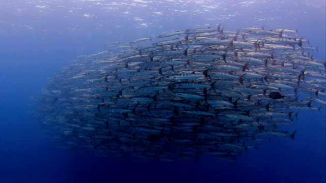 baracuda closed up - barracuda stock videos & royalty-free footage