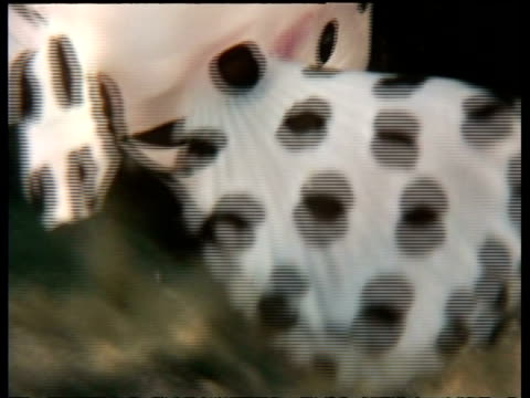 cu baramundi rock cod fish, juvenile, white with black spots, swimming over reef, mabul, borneo, malaysia - animal markings stock videos & royalty-free footage