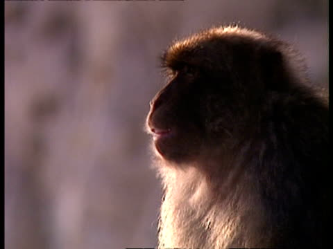 CU Barbary ape chattering