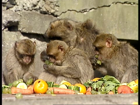 MCU Barbary apes eating fruit and vegetables