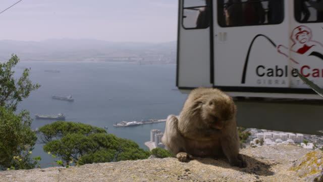barbary macaque (macaca sylvanus) feeds on grain, gibraltar - gibraltar bildbanksvideor och videomaterial från bakom kulisserna