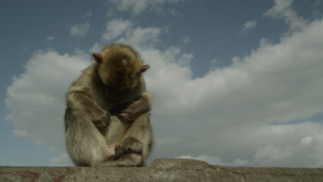Barbary macaque (Macaca sylvanus) grooms on Rock of Gibraltar