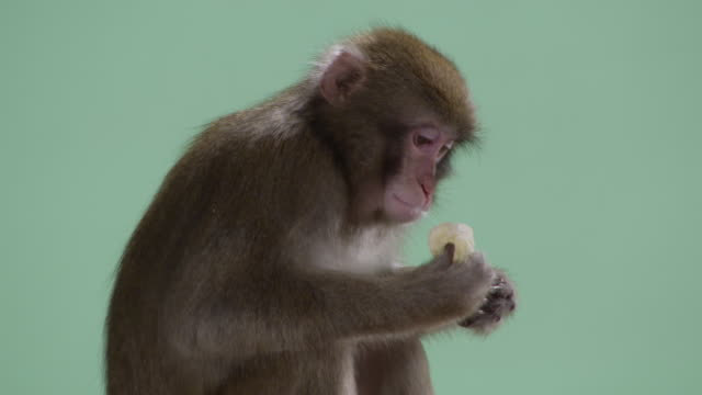 barbary macaque monkey shot over a green screen background munches on a banana. - banana stock videos & royalty-free footage